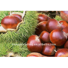 Good Fresh Chestnut