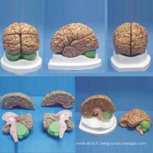 Modèle d'anatomie médicale du cerveau humain de taille naturelle de haute qualité (R050108)