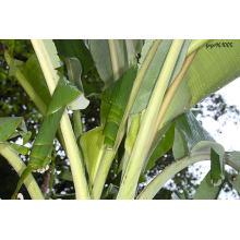 Extracto de hoja de plátano / Extracto de cáscara de plátano / Extracto de banaba en polvo