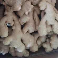 Golden Supplier of Fresh Air Dry Ginger