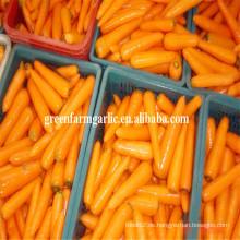 Frische australische Karotten
