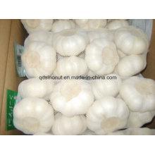 Fresh Crop Chinese Pure White Garlic