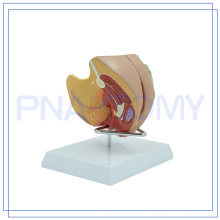PNT-0582 Mais populares Medical the female reproductive system photo