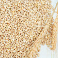 Healthy wheat kernel Multigrain class Prices For Sale