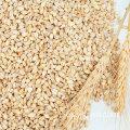 Productos agrícolas al por mayor grano de trigo clase multigrano