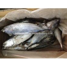 IQF Bonito Fish para el mercado