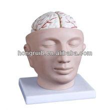 2013 HOT SALE cabeça com modelo de cabeça de artéria cerebral