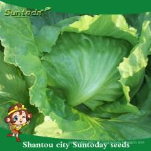Suntoday alta vezes sementes para venda vegetal F1 Orgânico iceberg cabeça alface sementes f1 plantador semeadora germinação (32002-2)