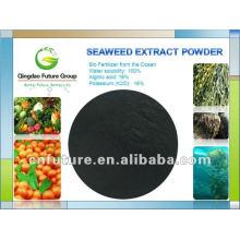 Polvo de extracto de algas marinas frescas de sargazo de algas pardas