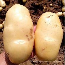 2015 nouvelles cultures pommes de terre fraîches