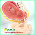 ANATOMY10 (12448) Médecine clinique Bassin de grossesse - 40 semaines pour nourrissons, modèles d'anatomie Bassin de grossesse avec foetus matures