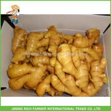 Hortalizas frescas Jengibre chino Jengibre fresco