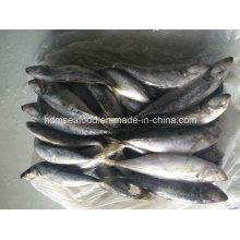Japanese Jack Mackerel Fish for Sale (22cm+)