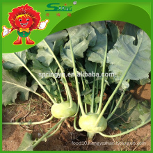 2015 new fresh Kohlrabi green vegetables good for health