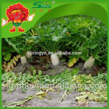 Vegetales frescos Rábano orgánico certificado rábano blanco grande