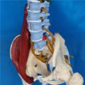 Modèle de squelette de la vertébrale spinale humaine pour l'enseignement médical (R020706)