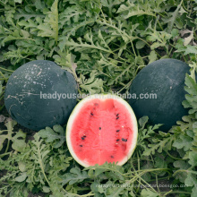 W20 Laoda no.3 medium maturity global black hybrid watermelon seed companies
