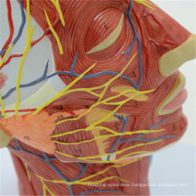 Exquisite Techinical human plastic brain models