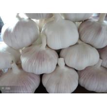 Frisches chinesisches Knoblauchgemüse mit normaler weißer Farbe