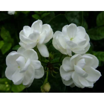 Jasmine essential oil that can reduce stretch marks