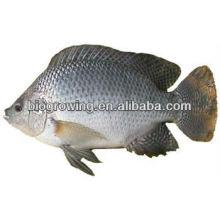 Futter probiotisch in Fischen