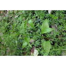 Fuente de la fábrica directamente extracto de Stemnae de la raíz 100% Natural