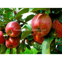 Fresh Red Star Apple for Exporting