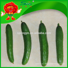 Orgánicos frescos pepino ventas contaminación libre de pequeños pepinos