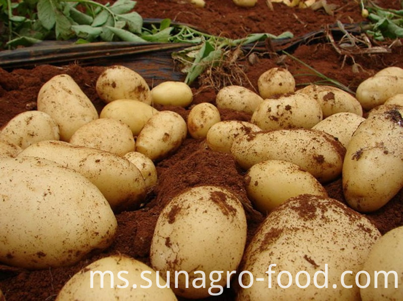 Potatoes Of Good Organic Quality