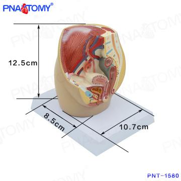 Modelo pélvico fêmea da cavidade PNT-1580 mini, modelo anatômico da pelve