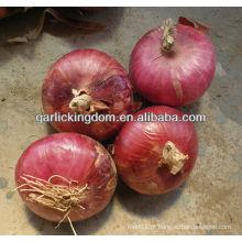 2013 nova cebola vermelha colheita
