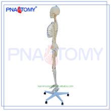 Nouvelle image de squelette d'anatomie PNT-0107 de marque