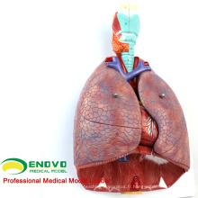 LUNG01 (12498) 1: 1 Poumon 7 pièces Modèle avec anatomie du larynx Modèles> Modèles pulmonaires> Modèle d'éducation