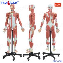 PNT-0349 modelo de figura do músculo humano 140cm
