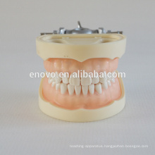 Professional Medical Anatomical Grade Plastic Dental Model 13011