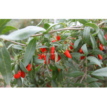 Dired Goji Berry Origined From Ningxia (0005)