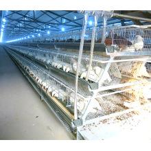 Avicultura de frangos de corte com equipamento automático de gaiola de galinhas