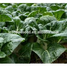 MCC02 Meigu fuerte hoja redonda verde semillas de col china