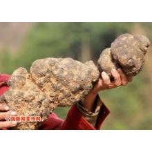 Extracto de Polyporus Umbrellatus 100% natural