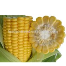 Sementes de milho híbrido amarelo super-doce de maturidade média de milho CO01 para o plantio