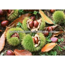 Chinese fresh chestnut 40-50 30-40 40-60pcs per kg