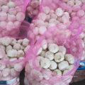 Nouvelle culture d'ail blanc frais chinois à Jinxiang