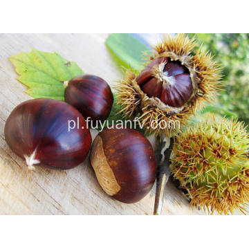 Nowy Crop Fresh and Good Quality chestnut
