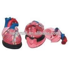 Медицинская пластиковая модель человека Jumbo Heart & Nnatomical model
