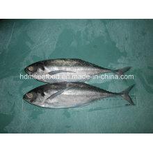 Pescado de la caballa de Finletter (Megalaspis cordyla)