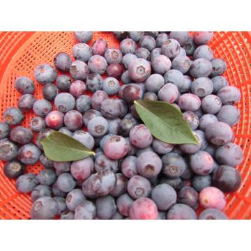 IQF Congelación / Liofilizado Orgánico Blueberry Zl-001 5