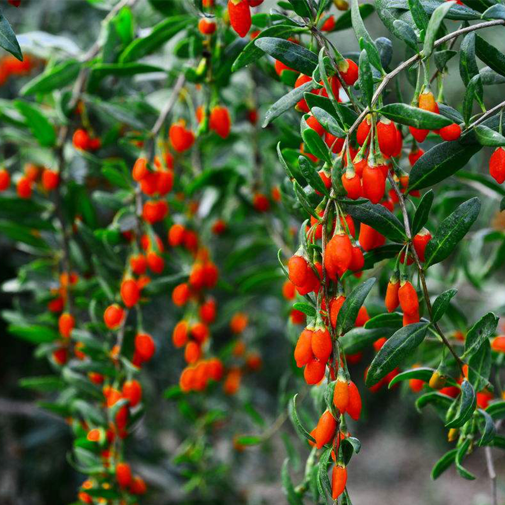 Healthy Organic Goji Berries