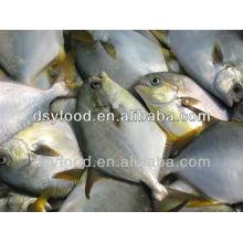 GÉOGRAPHIE GOLDEN POMFRET POMPANO FISH INTEGRAL IQF IWP