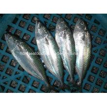 Pescado de la caballa indio para la venta