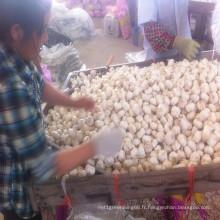 Usine de ferme chinoise d'ail frais à Shandong